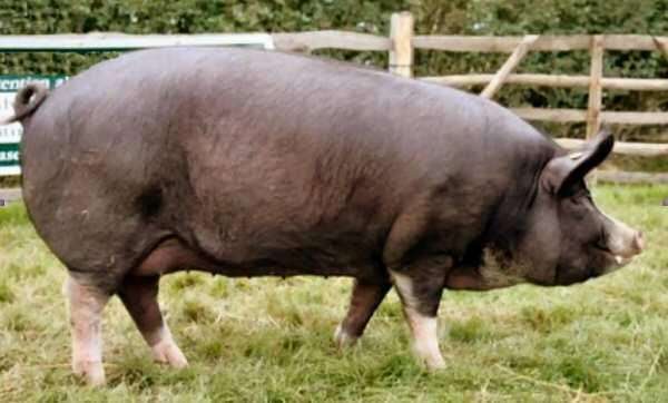 Berkshire sow – photo by Karen Nicoll