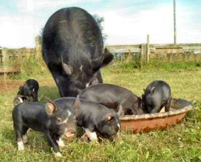 Sow and piglets – photo by Karen Nicoll