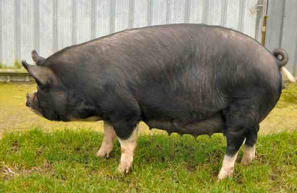Berkshire sow – photo by Peter le Bas
