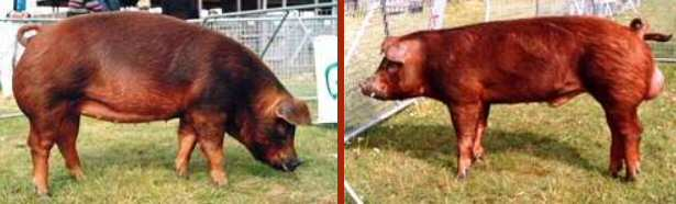 Duroc sow and boar – photo by Karen Nicoll