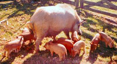 Euro sow and piglets – photo courtesy John Earney
