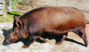 Euro sow – photo by Karen Nicoll