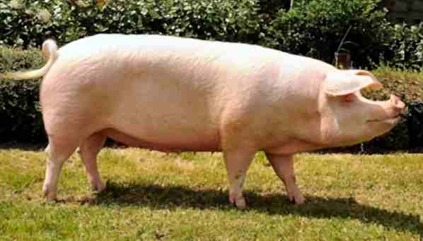 Landrace sow – photo by Karen Nicoll