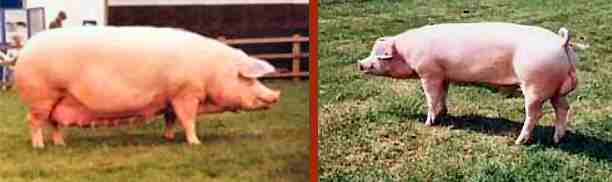 Landrace sow and boar