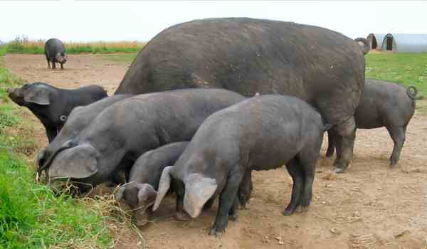Large Black pigs – photo by Karen Nicoll