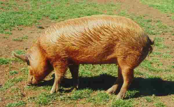Tamworth sow – photo by Karen Nicoll