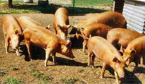 Tamworth pigs – photo by Karen Nicoll