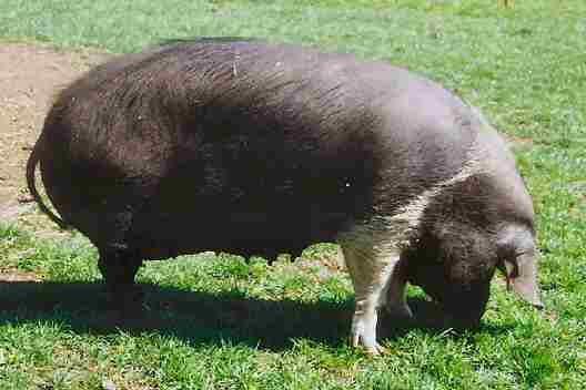 Wessex Saddleback sow – photo by Karen Nicoll